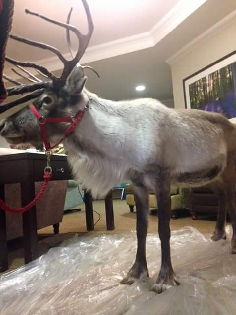 Cheshire Reindeer Hire - Reindeer rental from Cheshire ...